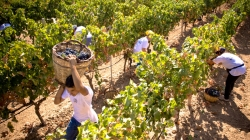 "Vendemmia ""DOC"" e record export (+6%)"